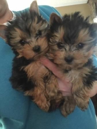 very-healthy-and-cute-yorkshire-terrier-puppies-big-0