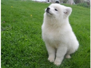 Super Adorable Samoyed Puppies.
