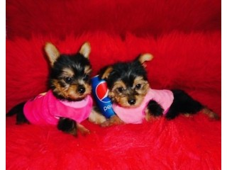 Outstanding teacup Yorkie puppies available