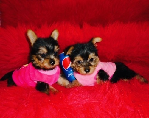 outstanding-teacup-yorkie-puppies-available-big-0