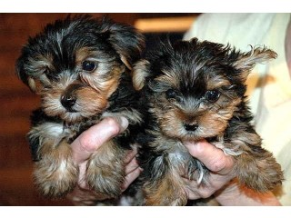 Outstanding teacup Yorkie puppies ready