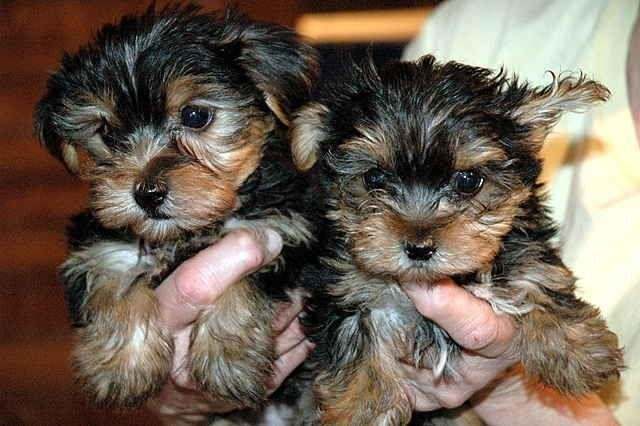 outstanding-teacup-yorkie-puppies-ready-big-0
