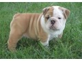 cute-male-and-female-english-bulldog-puppies-available-small-0