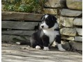 gorgeous-border-collie-puppies-available-small-0
