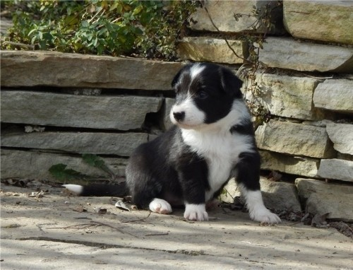 gorgeous-border-collie-puppies-available-big-0