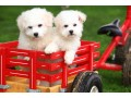 male-and-female-home-raise-bichon-frise-puppies-small-0