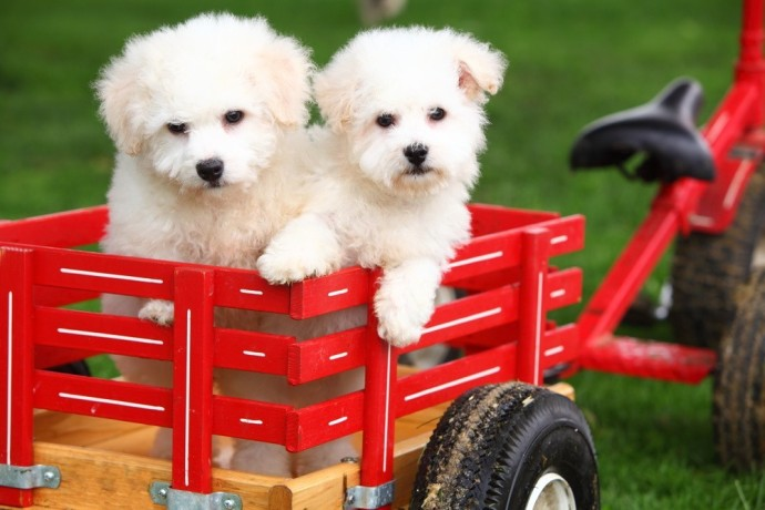 male-and-female-home-raise-bichon-frise-puppies-big-0