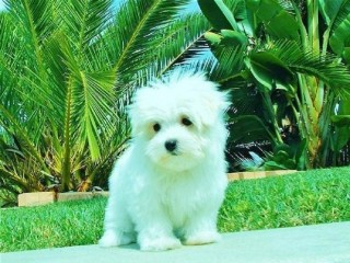 T-Cup Maltese Puppies Available