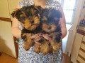 teacup-yorkie-puppy-small-0