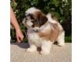 shih-tzu-puppies-ready-to-go-home-small-2