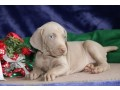lovely-weimaraner-puppies-ready-small-0