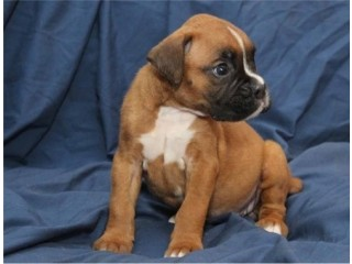Awesome Boxer Puppies Available,